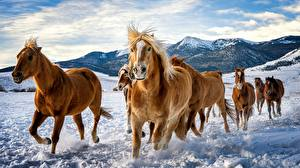 Wallpaper Horses Snow Run Herd Animals