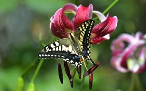 Fotos Lilien Schmetterlinge Hautnah Bokeh Papilio machaon Tiere