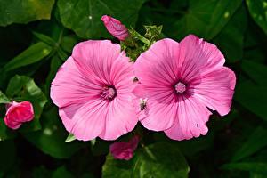 Papel de Parede Desktop Malva De perto moscas Cor-de-rosa flor