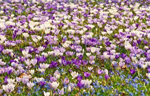 Fotos Viel Krokusse Grünland Blüte