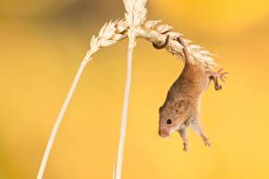 Fotos Mäuse Hautnah Ähren ein Tier
