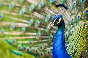 Pictures Peacocks Closeup Head Beak animal