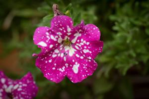 Fotos Petunien Hautnah Unscharfer Hintergrund Rosa Farbe Blüte