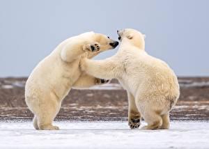 Pictures Polar bears Snow 2 Fight Animals