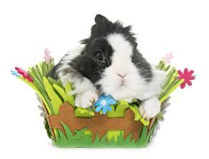 Fotos Kaninchen Weißer hintergrund Weidenkorb ein Tier