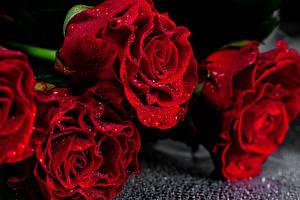 Fondos de Pantalla Rosas De cerca Rojo Gota de agua Flores imágenes