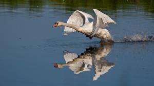 Bilder Schwan Vögel Wasser Starten Spiegelt Tiere