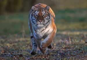 Fondos de escritorio Tigris Correr Contacto visual un animal