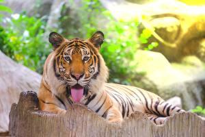 Fotos Tiger Amurtiger Zunge Starren Liegen