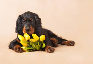 Images Tulip Laying Puppies English Setter Flowers