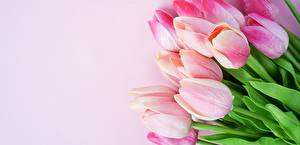 Wallpaper Tulips Pink color Flowers