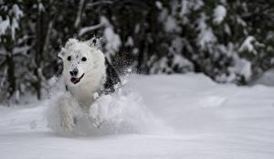 Fondos de escritorio Invierno Perros Nieve Blanco Correr Animalia