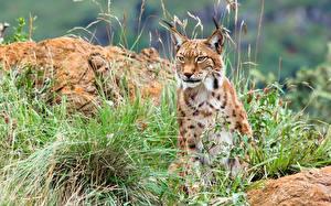 Desktop hintergrundbilder Große Katze Luchse Gras Blick ein Tier