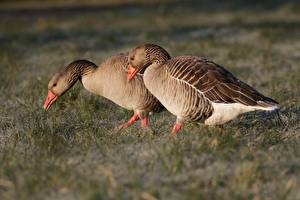 Wallpapers Birds Goose Grass Two animal