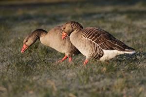 Bilder Vögel Gänse Gras Zwei ein Tier