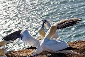 Fonds d'écran Oiseaux Aile Northern Gannet Animaux