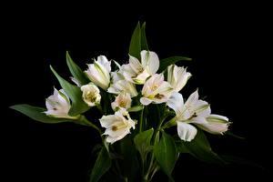 Bilder Blumensträuße Lilien Schwarzer Hintergrund Weiß Blüte