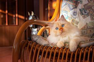 Hintergrundbilder Katze Blick Sessel Pfote Fuchsrot