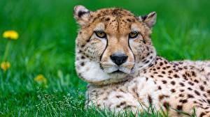 Bilder Geparden Starren Kopf Schnauze ein Tier