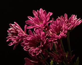 Fotos Chrysanthemen Hautnah Schwarzer Hintergrund Rosa Farbe Blüte