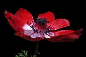 Bilder Großansicht Anemone Schwarzer Hintergrund Rot
