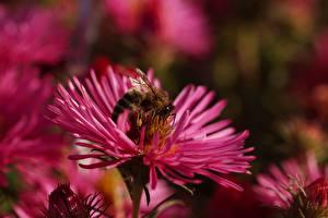Фотографии Вблизи Пчелы Насекомое