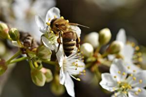 Обои Вблизи Пчелы Насекомое Размытый фон