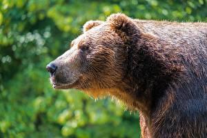 Tapety na pulpit Zbliżenie Niedźwiedzie Niedźwiedź brunatny Bokeh Widok z boku Głowa Zwierzęta
