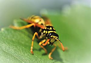 Pictures Closeup Insects Wasp Blurred background