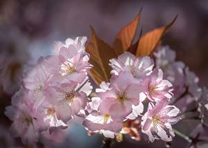 Wallpapers Closeup Cherry blossom Pink color flower