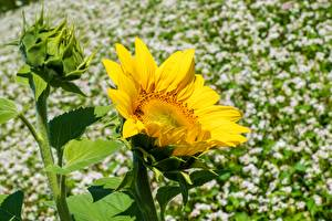 Picture Closeup Helianthus Yellow flower