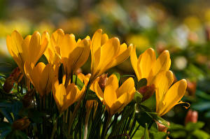 Bilder Krokusse Hautnah Gelb Blumen