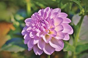Photo Dahlias Closeup Blurred background Pink color flower