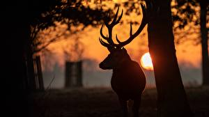 Pictures Deer Sunrises and sunsets Horns Silhouette Sun animal