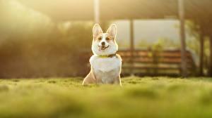 Bilder Hund Welsh Corgi Bokeh ein Tier