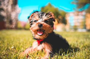 Wallpapers Dog Yorkshire terrier Grass Laying Blurred background Staring animal