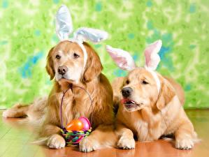 Bilder Ostern Golden Retriever Hund 2 Weidenkorb Ei Hasenohren
