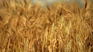 Hintergrundbilder Acker Großansicht Spitze Rye