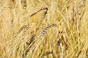 Hintergrundbilder Acker Weizen Großansicht Spitze