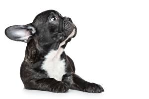 Picture French Bulldog White background Snout Puppies animal