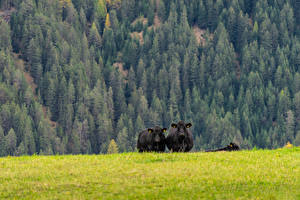 Wallpaper Grasslands Cows Forest Grass Nature
