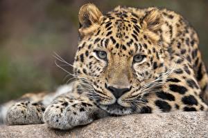 Hintergrundbilder Leopard Blick Schnauze Schnurrhaare Vibrisse ein Tier