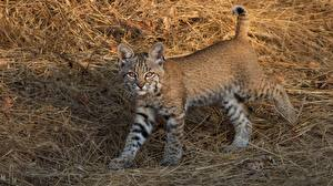 Photo Lynxes Cubs Straw animal