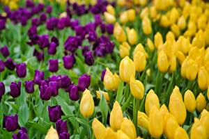 Wallpaper Many Tulip Blurred background Yellow Violet flower