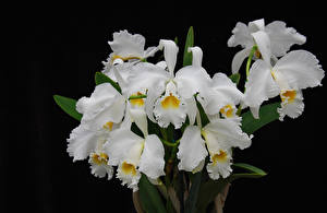 Bilder Orchidee Hautnah Schwarzer Hintergrund Weiß Blüte