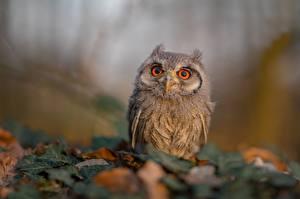 Pictures Owls Birds Bokeh Glance Ptilopsis leucotis