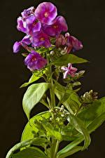Bilder Phlox Hautnah Schwarzer Hintergrund Blütenknospe Blüte