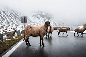 Pictures Roads Sheep Fog Asphalt animal
