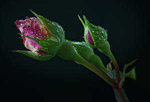 Image Roses Black background Flower-bud Two Drops Flowers