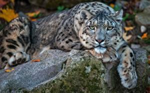Hintergrundbilder Irbis Steine Liegt Pfote Schnauze Starren Tiere
